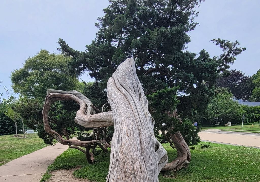 A view of a bent and gnarled three that has curved and twisted with time, yet is still alive with green branches spreading out from the ground. The photograph is taken from the perspective up the trunk.